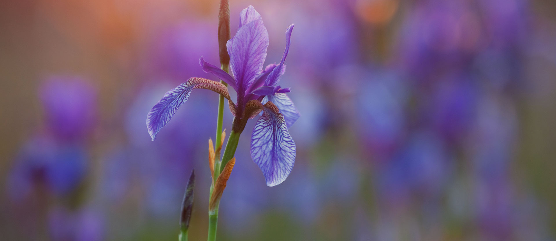 Tantarmar Iris